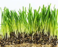 Fresh green grass on white background Royalty Free Stock Photography