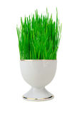 Fresh green grass in white pot isolated on white Royalty Free Stock Image