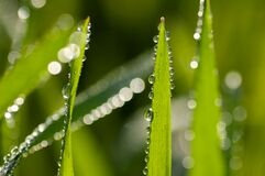 Free Fresh Green Grass With Dew Drops On The Blades Against A Creamy Bokeh Of Water Drops In The Morning Light. Close-up Shot Royalty Free Stock Photography - 179191557