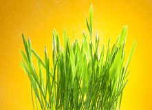 Fresh green grass on yellow. Fresh sparkling green grass on yellow background royalty free stock images