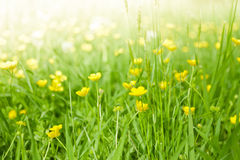 Fresh green grass with yellow flowers. Lush, fresh green grass background with yellow flowers royalty free stock photo
