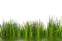 Fresh Green Grasses Growing at the Water Stock Image