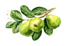 Fresh green guava branch with fruits, leaves and flowers. Watercolor hand drawn illustration, isolated on white background. Fresh green guava branch with fruits vector illustration