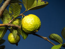 Fresh green Guava. Fresh green Guava hanging on the tree Royalty Free Stock Images