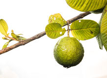 Fresh green Guava. Fresh green Guava on white isolate back ground Stock Photo