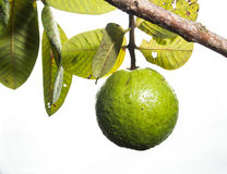 Fresh green Guava. Fresh green Guava on white isolate back ground Stock Photography