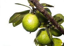 Fresh green Guava. Fresh green Guava on white isolate back ground Stock Photos