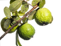 Fresh green Guava. Fresh green Guava on white isolate back ground Royalty Free Stock Photography