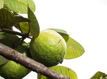 Fresh green Guava. Fresh green Guava on white isolate back ground Stock Image