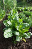 Fresh green healthy spinach growing on cultivated garden. Fresh green healthy spinach growing on cultivated garden on countryside royalty free stock photo