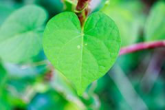 Fresh Green Heart-Shaped Leaf in Tropical Asia. Fresh Green Heart-Shaped Leaf in the Forest of Tropical Asia with Blurry Background Royalty Free Stock Photos