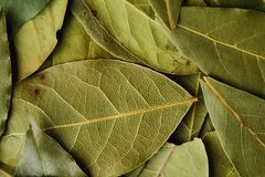 Fresh green herbs of Bay leaf for cooking Royalty Free Stock Photos