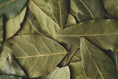 Fresh green herbs of Bay leaf for cooking Royalty Free Stock Photography