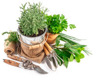 Fresh green herbs with garden tools Royalty Free Stock Photo