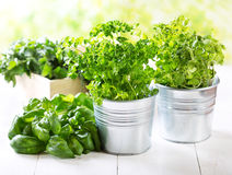 Fresh green herbs Stock Images