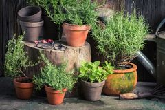 Fresh and green herbs in rustic garden. In summer royalty free stock photo