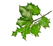 Fresh green holly twig on white background Royalty Free Stock Photos