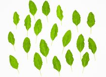 Fresh green holy basil leaves isolated on white stock images