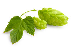 Fresh green Hop royalty free stock photography