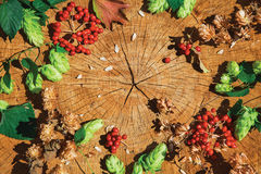 Fresh green hop branch, brown dry hop and red viburnum. Fresh green hop branch, brown dry hop and viburnum on cracked wooden background. Beer ingredient. Autumn Stock Image