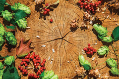 Fresh green hop branch, brown dry hop and red viburnum. Fresh green hop branch, brown dry hop and viburnum on cracked wooden background. Beer ingredient. Autumn Stock Images