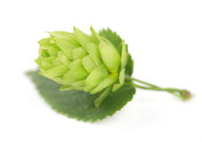 Fresh green hop branch, isolated on white background Royalty Free Stock Images