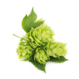 Fresh green hop branch, isolated on white background Stock Photography