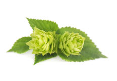 Fresh green hop branch, isolated on white background Stock Photos