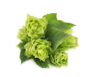 Fresh green hop branch, isolated on white background Stock Image