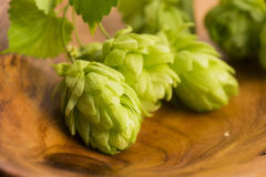 Fresh green hop cones Royalty Free Stock Image