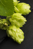 Fresh green hop cones Stock Images