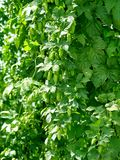 Fresh green hops Stock Photo