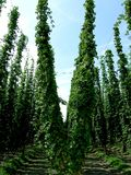 Fresh green hops Stock Photography
