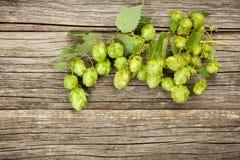 Fresh green hops Stock Image
