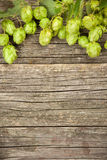 Fresh green hops Royalty Free Stock Image