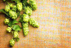 Fresh green hops closeup. Branches of hop with cones. Fresh green hops close up. Branches of Hop plants with cones and leaves over burlap background. Ingredients Stock Image