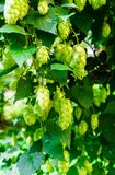 Fresh green hops hanging from branches in the garden stock photos