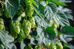 Fresh green hops. Hop plant (Humulus Lupulus) with hops flowers Stock Image