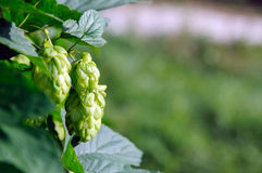Fresh green hops. Hop plant (Humulus Lupulus) with hops flowers Stock Images