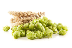 Fresh green hops. And malt - beer brewing ingredients Royalty Free Stock Photos