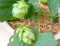 Fresh hops and malt for your beer. Fresh and green hops plant and dry malt for beer, fresh and refreshing royalty free stock photos