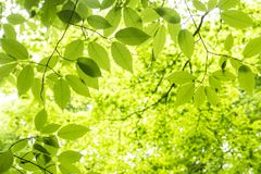 Green hornbeam maple leaves. Fresh green hornbeam maple leaves under green forest Royalty Free Stock Images