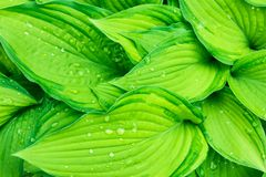 Fresh Green Hosta Plant Leaves after Rain with Water Drops. Botanical Nature Background. Background Wallpaper Poster Template
