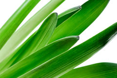 Fresh green hyacinth flower leaves macro on white background Royalty Free Stock Images