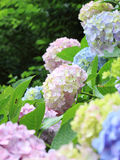 Fresh green hydrangea Royalty Free Stock Image