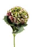 Fresh green hydrangea flower Stock Photography