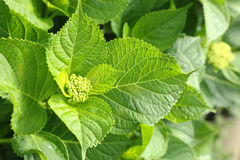 Fresh green hydrangea leaves and bud Royalty Free Stock Image