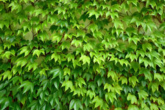 Fresh green ivy creeper leaves Royalty Free Stock Image