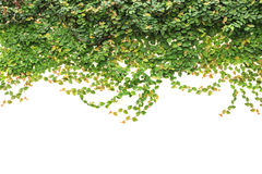 Free Fresh Green Ivy Isolated On White Background. Garden Decoration Royalty Free Stock Photos - 78130848