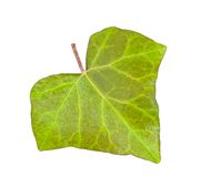 Ivy leaf Royalty Free Stock Photos